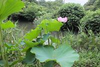 ■大賀ハス18.7.26 - 舞岡公園の自然2