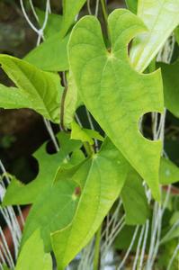 バラハキリバチ - 虫と