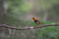 亜高山の夏鳥 その6 - 瑞穂の国の野鳥たち
