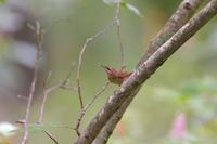 ヤブサメ幼鳥 - やぁやぁ。