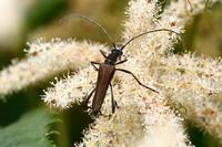 ホンドアオバホソカミキリ - Insect walk
