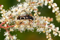 ヨコモンヒメハナカミキリ - Insect walk
