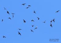 アマツバメは、飛びながら眠る - THE LIFE OF BIRDS ー 野鳥つれづれ記