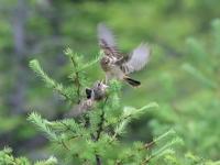 ノビタキの争い - 『彩の国ピンボケ野鳥写真館』