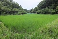 ■稲の花 おしべ18.7.27 - 舞岡公園の自然2