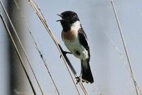 たっぷりノビタキ - 今日の鳥さんⅡ