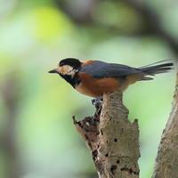 庭にヤマガラ2羽戻る - TACOSの野鳥日記