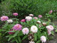百日草 - だんご虫の花