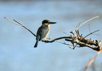ヒジリショウビン バリ島 - 可愛い野鳥たち 2