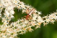 ツマグロヒメハナカミキリ - Insect walk