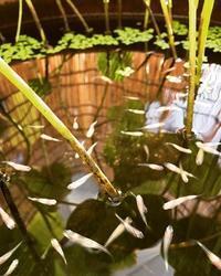 今年生まれた白メダカちゃん - 水鏡 mizukagami