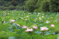 蓮華寺池の蓮の花 - やきつべふぉと