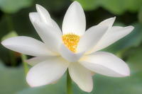 レンコンの花 - やきつべふぉと