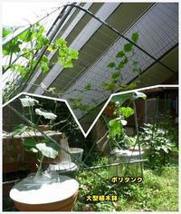 水耕栽培 キュウリ第二弾 - ■■ Ainame60 たまたま日記 ■■
