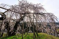 桜咲く滋賀2018畑のしだれ桜 - 花景色-K.W.C. PhotoBlog