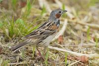 ホオアカPart2 - 近隣の野鳥を探して
