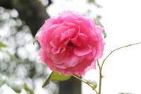 ば〜らが咲いた、ば〜らが咲いた〜🎵 - からっ風にのって♪