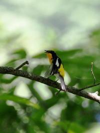 蓼科で出会ったキビタキ - コーヒー党の野鳥と自然 パート2