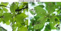アオバセセリの幼虫探索:その2(7月下旬) - 探蝶逍遥記