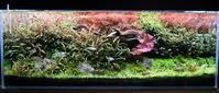 水草ボーボー水槽のピンナとロタラHraを大量トリミング - 癒しのアクアライフ