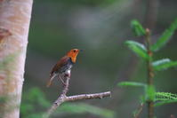 亜高山の夏鳥 その7 - 瑞穂の国の野鳥たち