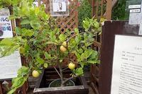 イチオシ♪ニュートンのリンゴの木! - 手柄山温室植物園ブログ 『山の上から花だより』