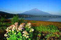 30年7月の富士(21)山中湖畔の花と富士 - 富士への散歩道 ~撮影記~