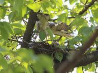 ツミ、巣立ち前、 - ぶらり探鳥