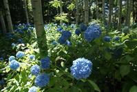 豊平公園紫陽花の季節 - nshima.blog
