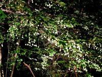 今年も豊作!枝もたわむ程のエゴの実 - 自 然&建 築  Design BLOG