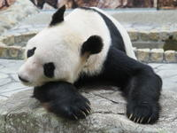 パンダの赤ちゃん生まれる! - 風に流され、気まま気まぐれ
