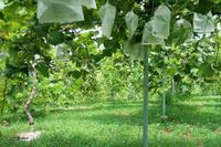 葡萄の枝葉の整理 - ~葡萄と田舎時間~ 西田葡萄園のブログ