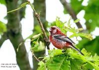 全身バラ色のベニマシコが、視野のはしを一瞬かすめる - THE LIFE OF BIRDS ー 野鳥つれづれ記