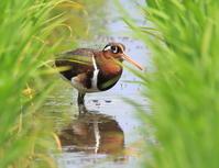 今度こそ正真正銘タマシギ - 『彩の国ピンボケ野鳥写真館』