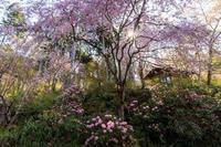 桜咲く京都2018三千院・春の花たち - 花景色-K.W.C. PhotoBlog
