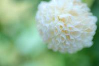 Dahlia - Une fleur