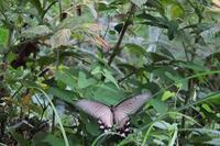 ■産卵する?ジャコウアゲハ18.7.26 - 舞岡公園の自然2