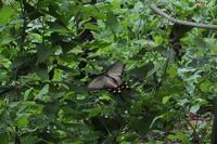 ■ 産卵する?ジャコウアゲハ   18.7.26 - 舞岡公園の自然2