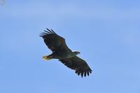 空の王者 オジロワシ - 野鳥公園