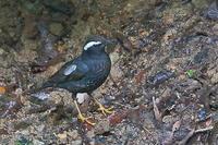 似たもの同士の僅かな違い…マミジロ、クロツグミ、アカハラの幼鳥 - 上州自然散策2