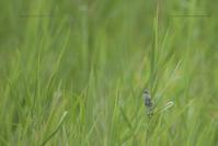 風でうねる葦の原です - healing-bird