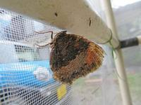 夏眠実験中のヒオドシ - 秩父の蝶