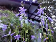 擬宝珠 - だんご虫の花