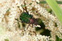 アオアシナガハナムグリ - Insect walk