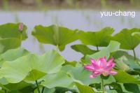 2018.6.14早くも咲く大賀ハス - 下手糞PHOTO BLOG