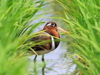 タマシギ - 『彩の国ピンボケ野鳥写真館』