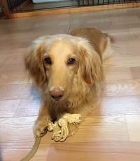 いつでも遊ぶ準備OKなクッキー - きょうのはなwithくるみ~愛犬写真日記~
