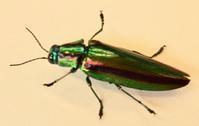 #甲虫 『玉虫』Chrysochroa fulgidissima - 自然感察 *nature feeling*