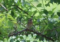 今日の鳥さん 180730 - 万願寺通信