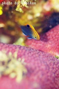 被写体映えしなくとも ~クロメガネスズメダイ幼魚~ - 池ちゃんのマリンフォト